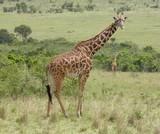 Giraffe in Kenya - 192166035