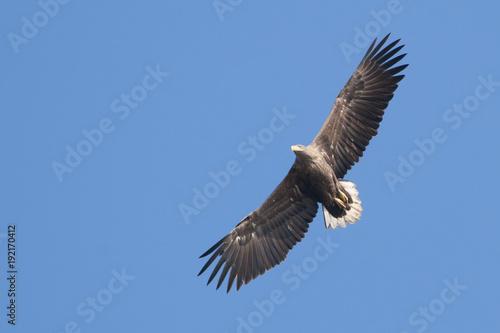 Aluminium Eagle White Tailed Eagle