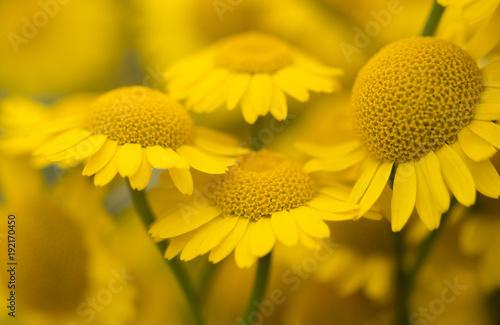 zolte-kwiaty-rumianku,-zdjecie,-plakat