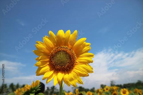 Good Morning From Sun Flower
