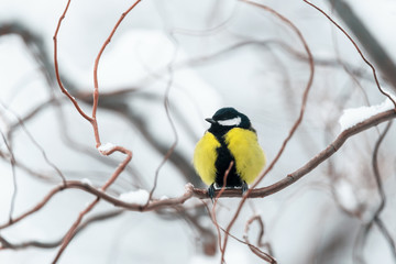 Small parus with yellow belly on twig closeup. Snowy tree in winter time. Birds photography