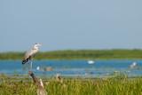Grey Heron (Ardea cinerea) - 192175831