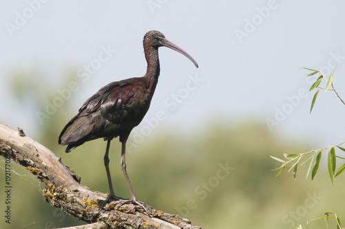 Fotobehang Natuur Glossy Ibis