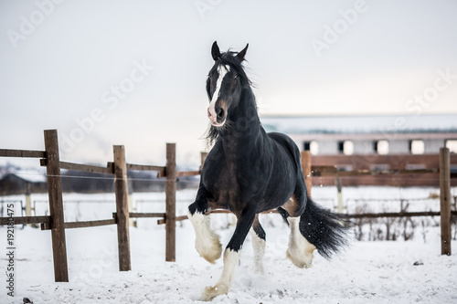 Shire horse runs around the snow-covered field.