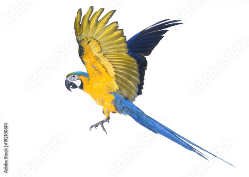 Fototapeta Blue-and-yellow macaw in studio