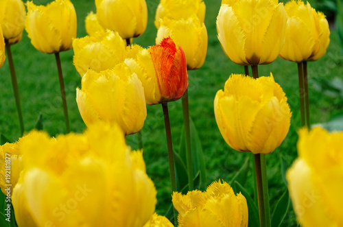 Fotobehang Tulpen Single bi-color tulip inside a field of yellow tulips