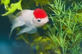 Lionhead White Goldfish in Aquarium