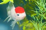Lionhead White Goldfish in Aquarium - 192182274