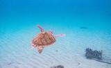 The hawksbill sea turtle (Eretmochelys imbricata) is a critically endangered sea turtle