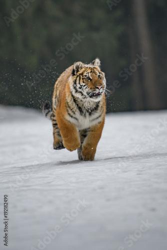 Fotobehang Tijger Siberian Tiger in the snow (Panthera tigris)