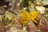Yellow Protula Worm - 192186033