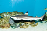 Balctip reef shark - 192190021