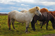 Herd of Icelandic horses magnificent