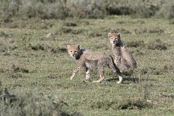 Portrait of free roaming cheetah cubs