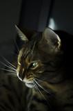 Bengal cat. A cat is a leopard.
