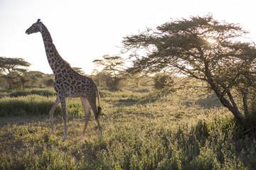 Backlight of african giraffe at sunset