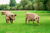 Farmland with pigs. Pastureland in valley - 192197078