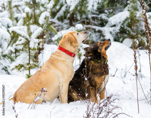 Yellow dog and brown-black dog sitting together outdoors in a snowy forest in winter in snowfall. Dog looking up on fallen snow