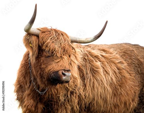 Foto Murales Scottish highland cattle