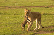 Quadro a lioness carries her baby warthog kill across the grasslands of the Maasai Mara