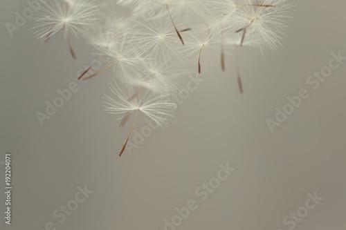 Fototapeta Flying parachutes from dandelion