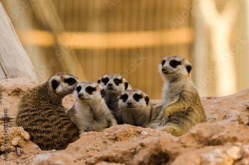 Meerkat Family stay close to each other