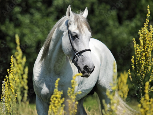 andalusian-horse-portrait-of-white-stallion