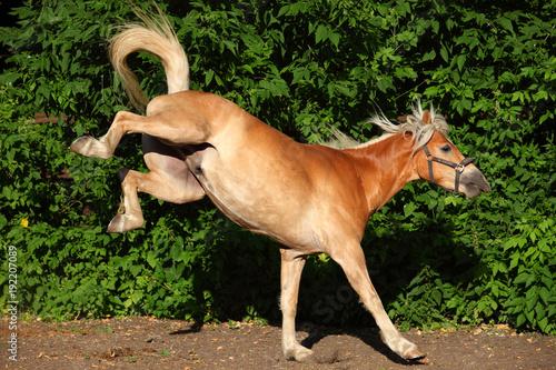 Kicking haflinger horse portrait against summer green bushes