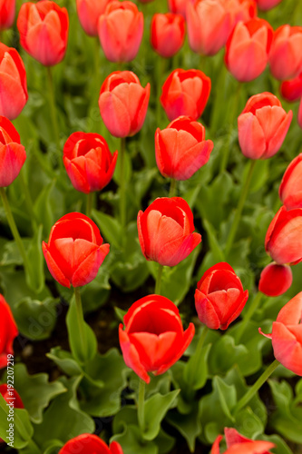 Fotobehang Tulpen Beautiful red tulips in a park in the nature