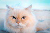 Cute Persian cat left alone in the sand and posed for a photo