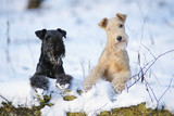 Blue and red Lakeland Terrier dogs lying together on a snow in winter forest
