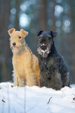 Blue and red Lakeland Terrier dogs sitting together on a snow in winter forest