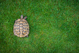Tortoise slowly moving over green grass - 192210000