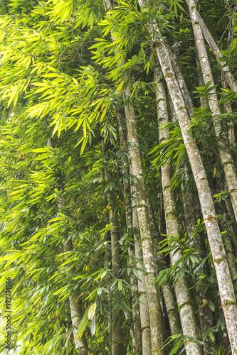 Fotobehang Bamboe Tropical brazilian bamboo, bambusa tulda