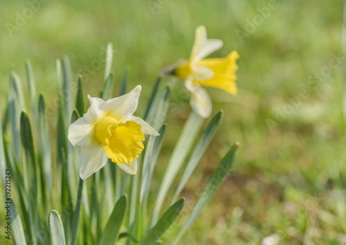 Jonquil na łące. Wiosna kwiat i defocused natury zieleń w tle.