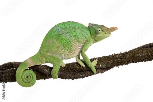Fotobehang Kameleon Zweihornchamäleon - Two-horned Chameleon