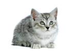 Grau getigertes Kätzchen sieht nach oben isoliert auf weißem Hintergrund