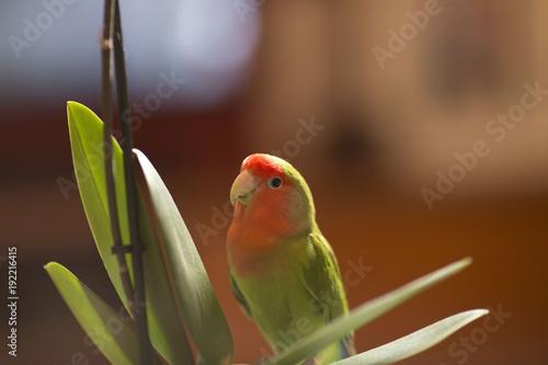 Fotobehang Papegaai parrot bird rose coly