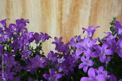 fioletowe dzwoniki kwiatów Campanula portenschlagiana