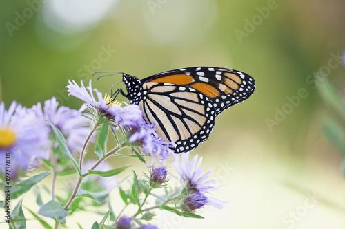 Motyl Monarch w naturalnych ustawienie karmienia na kwiaty Aster