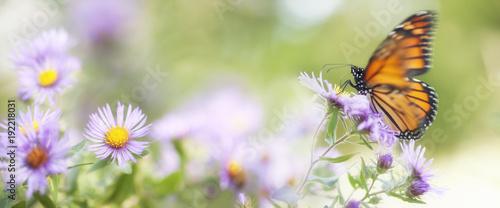 Monarchiczny motyl Odpoczywa na asteru kwiacie w polu