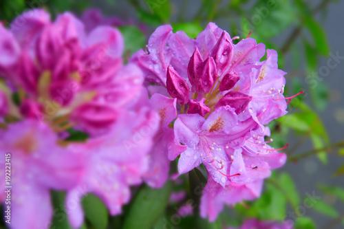 Fotobehang Azalea Beautiful pink Rhododendron .