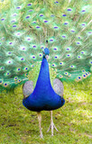Colorful Male Peacock Strutting Through the Grass - 192224092