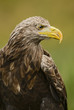 White-tailed Eagle - Haliaeetus albicilla, large Euroasian bird of prey sitting in grass near the lake.