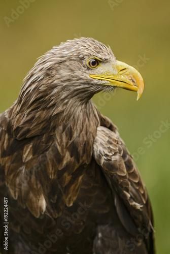 Aluminium Eagle White-tailed Eagle - Haliaeetus albicilla, large Euroasian bird of prey sitting in grass near the lake.