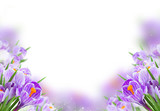 Violet crocus flowers - 192225653