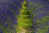 Lavender Field Provence - 192225680