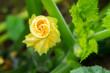 Spiraled Zucchini Blossom (Cucurbita pepo)