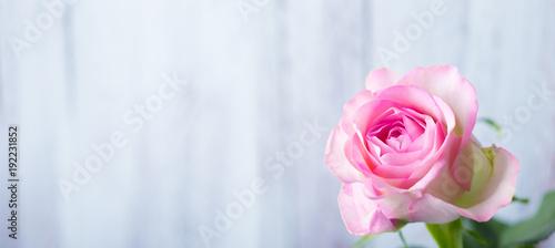 Fototapeta Single rose flower in front of light wooden background