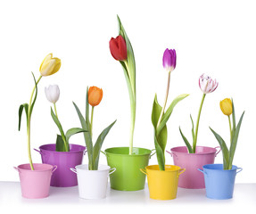Tulips in flower pots isolated on white